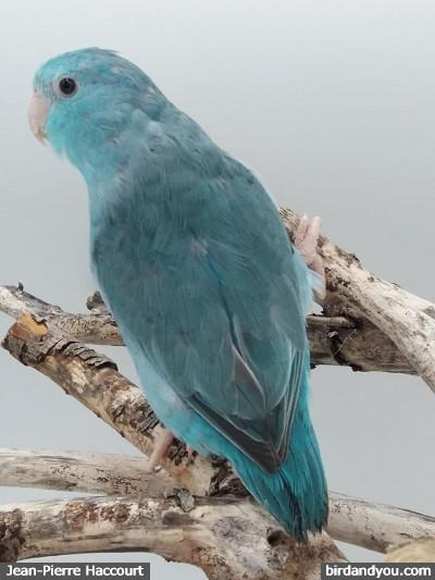 Femelle toui céleste bleue