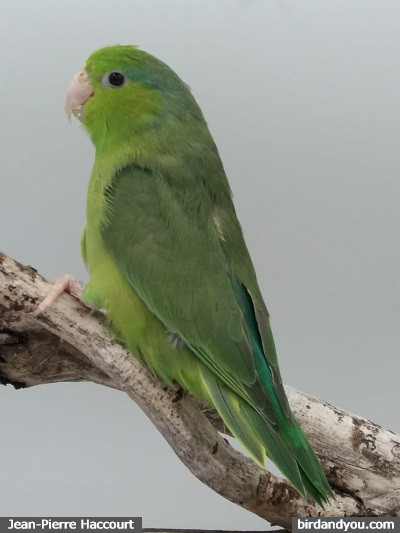 Femelle vert D toui céleste