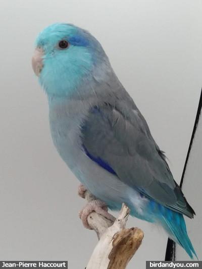 Mâle toui céleste bleu
