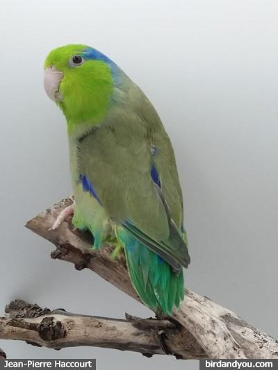 Male toui céleste vert