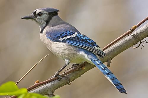 bc breeding bird atlas