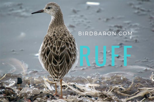 Ruff Bird Facts – What is the Ruff of a Bird Called?