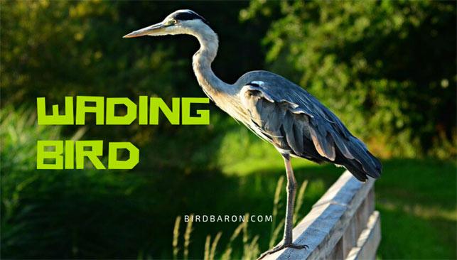 What are Wading Birds? Traits | Description | Diet | Habitat