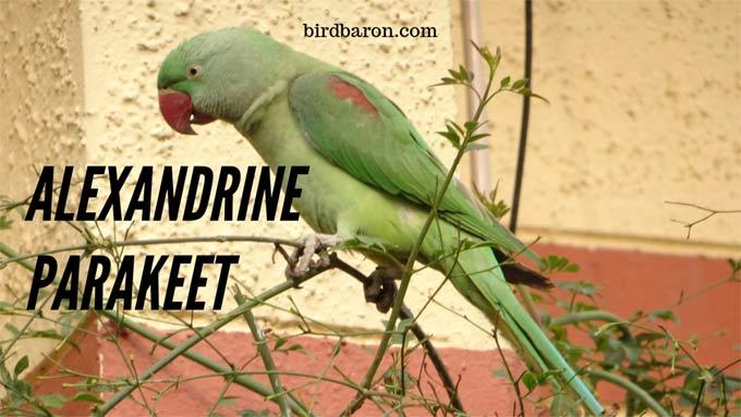 Alexandrine Parakeet – Alexandrine Parrot Size   Facts   Diet