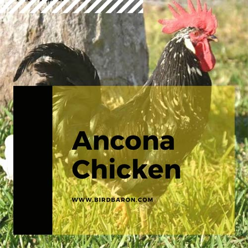 Ancona Chicken Size For Sale | Breed | Eggs | Characteristics