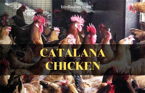 Catalana Chicken Breed – What to Know for Sale