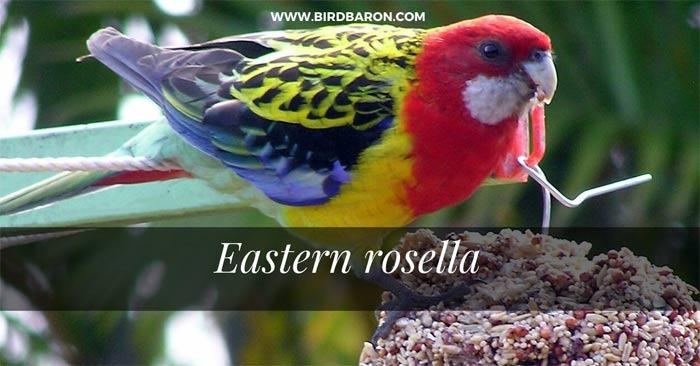 Eastern Rosella Parrot – Platycercus eximius Pet Bird