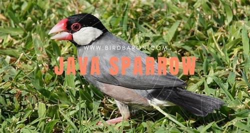 Java Sparrow – Java Finch Facts | Pet | Lifespan
