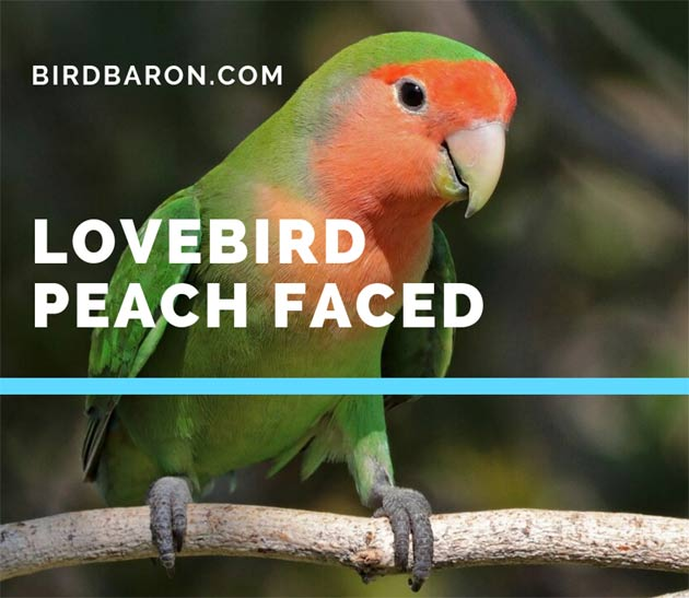 Lovebird peach faced – Lifespan | Food | Care | Personality