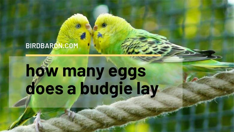 How Many Eggs does a Budgie Lay