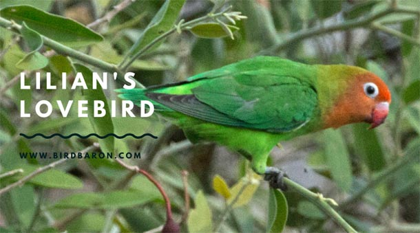 Lilian's Lovebird (Agapornis lilianae) – Facts | Price | Food | Care