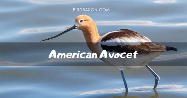 American Avocet Bird – Facts | Range | Habitat | Traits