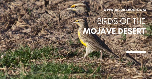 What are the Birds of the Mojave Desert?