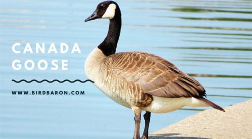 Canada Goose bird Facts, Traits and Symbols