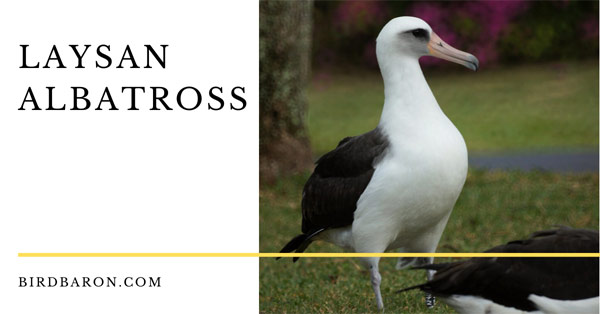 Laysan Albatross – Profile | Traits | Lifespan | Wisdom