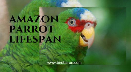 Amazon Parrot Lifespan – Factors that affect Longevity