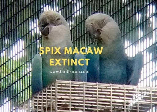 Spix Macaw Extinct – Is Spix Macaw on brink of extinction?