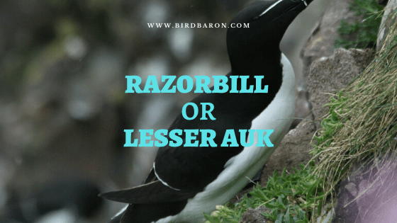Razorbill or lesser auk (Alca torda) Overview and facts