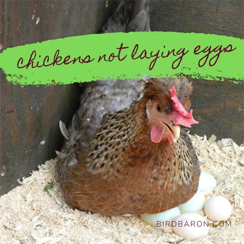 Chickens not Laying Eggs – Problem Solved!