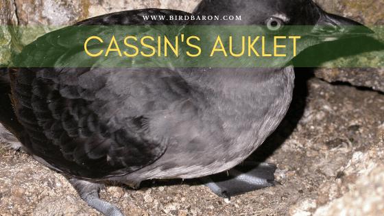 Cassin's Auklet (Pichoramophus aluticus) Facts