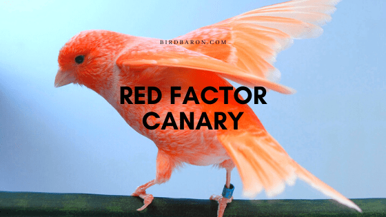 Red Factor Canary – Facts | Profile | Traits | Habitat | Diet