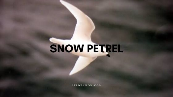 Snow Petrel (Pagodroma nivea) Bird Profile