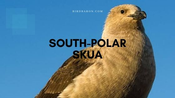 South Polar Skua (Stercorarius maccormicki) Profile