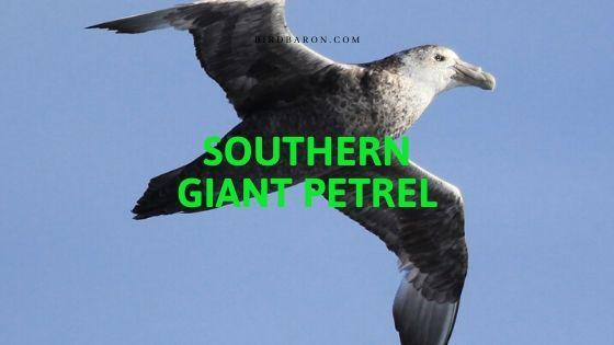 Southern Giant Petrel (Macronectes giganteus) Profile