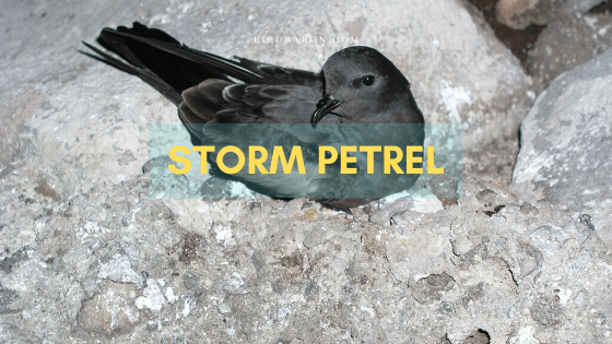 Storm Petrel Bird – Profile | Facts | Description | Habitat