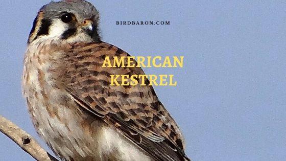American Kestrel (Falco sparverius) Bird Profile