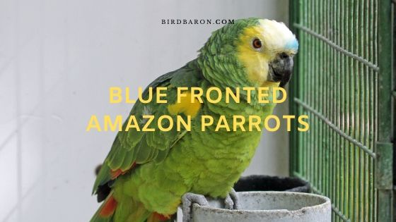 Blue Fronted Amazon Parrots – Profile | Facts | Description