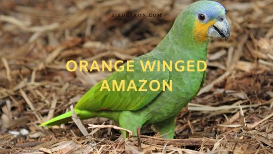 Orange Winged Amazon (Amazona amazonica) Overview