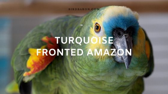Turquoise Fronted Amazon (Amazona aestiva) Profile