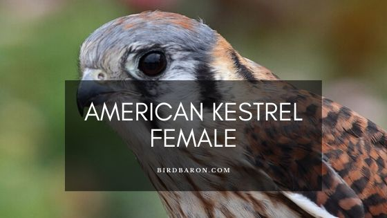 American Kestrel Female – Profile | Traits | Facts | Eggs