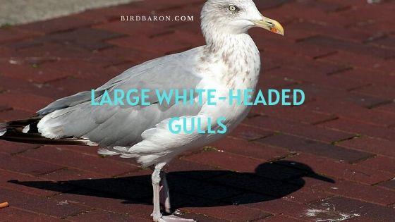 Large white-headed gulls (Larus) – Profile | Description