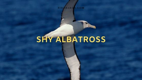 Shy Albatross (Thalassarche cauta) Description