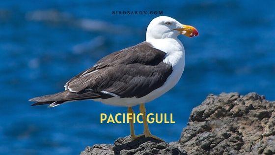 Pacific Gull (Larus pacificus) Description