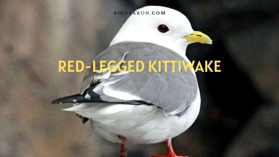 Red-legged kittiwake Facts | Description | Range