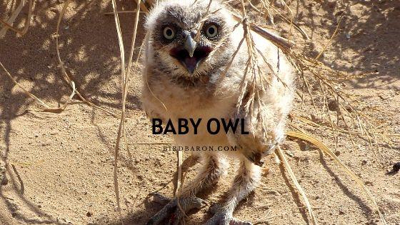 Baby Owl – Description | Facts | Legs | Care | Sleeping