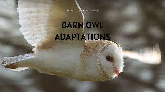 Barn Owl Adaptations – How Do Barn Owls Survive?