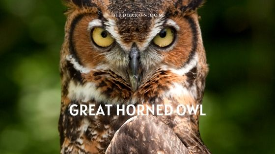 Great Horned Owl Description, Facts and Profile