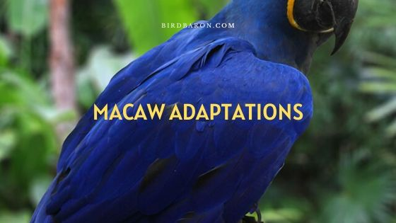 Macaw Adaptations – How Do Macaws Survive?
