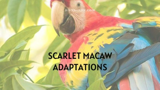 Scarlet Macaw Adaptations – How Do They Survive?