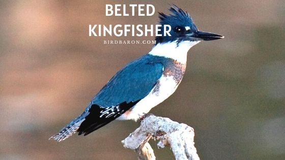 Belted Kingfisher Bird – Profile | Facts | Description | Call