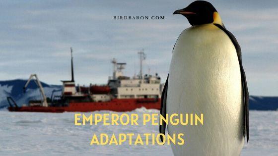 Emperor Penguin Adaptations – Types of Adaptation