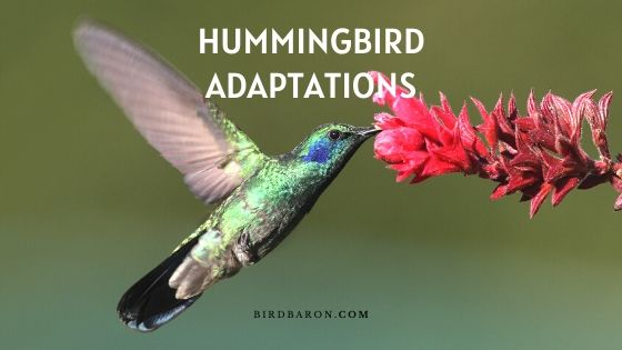 Hummingbird Adaptations – How Do They Survive?