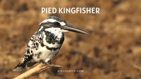 Pied Kingfisher Bird – Profile | Traits | Facts | Habitat | Diet