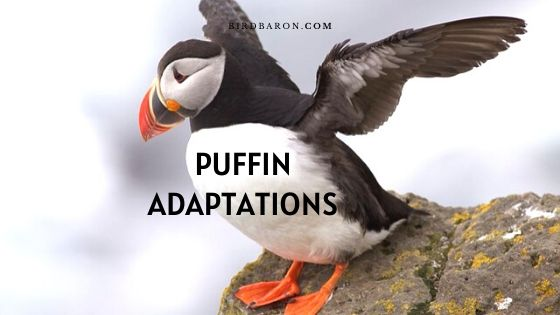 Puffin Adaptations – How Do They Survive?