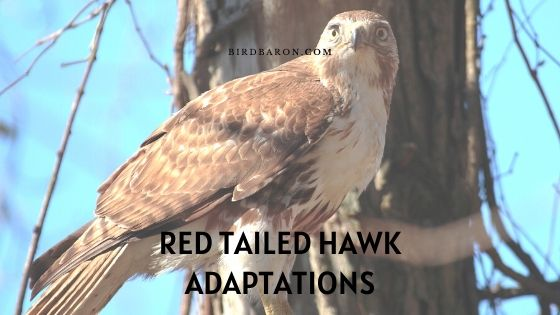 Red Tailed Hawk Adaptations – How Do They Survive