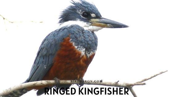 Ringed Kingfisher Bird – Facts | Range | Size | Call